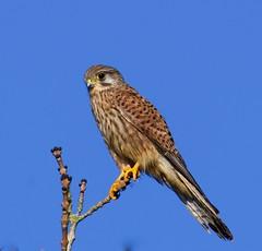 Kestrel - Taken at Irchester Country Park, Irchester, Wellingborough, Nothants. UK (Ian J Hicks) Tags: