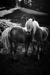 Head or tail? (iamunclefester) Tags: blackandwhite monochrome burgbergerhörnle horse emo backlight front back head tail trees green field