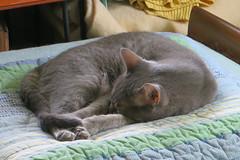 Millie 15 August 2018 0660Ri 4x6 (edgarandron - Busy!) Tags: cat cats kitty kitties tabby tabbies cute feline millie graytabby