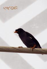 Acridotheres javanicus (A. K. Hombre) Tags: bird oiseau aves javanmyna acridotheresjavanicus animal fauna singapore canon powershotsx530hs perch passeriformes lines telephoto whiteventedmyna