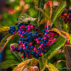 Berries in Autumn (johnscratchley) Tags: gardens flora autumn seasons colours hues hdr plant species