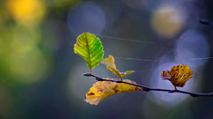 Autumn... (.: mike | MKvip Beauty :.) Tags: sony⍺6000 sonyilce6000 sonyalpha6000 sonyalpha sony alpha emount ⍺6000 ilce6000 viivitarseries170~210mmƒ3 vivitarseries1 70~210mmƒ35 kiron vintagezoom manualexposure manualfocusing manual manualondigital handheld availablelight naturallight backlight backlighting sunset sunsetlight goldenhour shallowdof bokeh bokehlicious beyondbokeh extremebokeh smoothbokeh nature leaves web cobweb autumn fall wörthamrhein germany europe mth mkvip viivitarseries170~210mmƒ35vmcmacro ngc npc