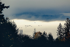 Mountain Wings (Danielle Bednarczyk) Tags: geese flock migrate migration canadiangeese southforthewinter tree trees mountain mountains mist fog light shadow farm rural countryside outdoors nature sunrise goose fall autumn