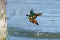 Martin-pêcheur d'Europe - Alcedo atthis - Common Kingfisher (Alain-46) Tags: martinpêcheurdeurope alcedoatthis commonkingfisher coraciiformes alcédinidés