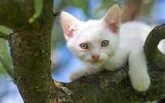 kittens II (12) (Vlado Ferenčić) Tags: kity kittens vladoferencic catsdogs cats vladimirferencic pets animals animlplanet nikond600 tamron9028 closeup zagorje hrvatska hrvatskozagorje croatia