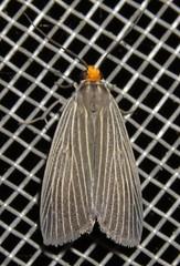 moth (Birdernaturalist) Tags: arctiinae bolivia erebidae lepidoptera moth richhoyer