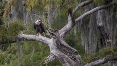 Bald eagle hunting Silver Glen, Florida (flintframer) Tags: florida bald eagle raptors birds prey squawking perched wow nature wildlife color spanish moss dattilo usa america canon eos 7d markii ef600mm