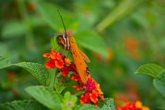 Butterfly (Phet Live) Tags: phet live macro gh2 leica elmarit 45mm f28