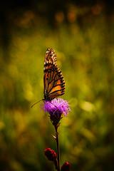 Monarch on Blazing Star (Dave Linscheid) Tags: flower wildflower summer butterfly picmonkey watonwancounty mn minnesota usa
