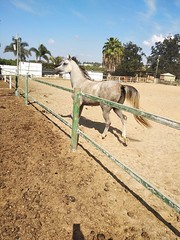 7 (redi3103) Tags: egyptian arabian horse for sale buy champion