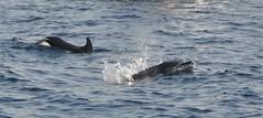 Wauwww........Series of 4 photos (wilma HW61) Tags: dolfijnen vis fish dolfijn dolphin delfino dauphin delfin water wasser natuur nature natur naturaleza animal tier beast dier dalmacija dalmatië dalmatia kroatië croatia croazia europa europe nikond90 wilmahw61 wilmawesterhoud zee sea outdoor