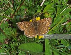 Dingy skipper (Gary Chalker, Thanks for over 3,000,000. views) Tags: skipper dingyskipper butterfly insect pentax pentaxk5 k5 sigma105mmf28exdg 105mmf28exdg 105mm sigmaem140dg