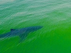 Shark   Monterey Bay California (Paul Tocatlian   Happy Planet) Tags: shark montereybay pacificocean california drone dronography dronephotography aerialphotography happyplanet paultocatlian