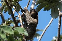 IMG_4473 Three-toed Sloth (suebmtl) Tags: animal mammal panama panamacity threetoedsloth brownthroated bradypusvarigatus