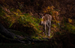 Fawn in Autumn (neil 36) Tags: fawn deer woodland autumn cervidae babydeer nature wildlife outdoors woodlands rutting eventoed ungulate mammals