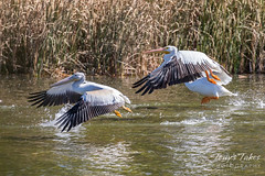 October 19, 2018 - Pelicans take flight in Adams County. (Tony's Takes)