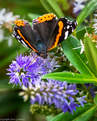 Red Admiral (steve.gombocz) Tags: outdoor ngc insect out outandabout nature wildlife naturewatch wildlifewatch wildlifereserve naturereserve wildlifephoto naturephotos wildlifephotographs wildlifepicture naturephotographs naturepictures bbcsummerwatch tier flickrwildlife flickrnature flickrinsects wildbritain britishwildlife britishnature wildlifeuk rspbreserve rspbsaltholme naturewildlife butterfly redadmiral explorewildlife explorenature exploreflickr colour colours colourmania colors flickraddicts nikond850 nikon500mmf4 nikonusers nikoncamera nikonfx nikon
