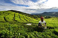 TEA HARVEST (BoazImages) Tags: malaysia southeastasia cameronhighlands boazimages teaplantation tea harvest bangladeshiworker documentary landscape landscapesof