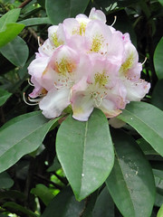 050618#059 Rufford Hall Rhododendron (Steveox55) Tags: lancashire rufford flower