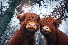 We stick together. Like glue. (Gudzwi) Tags: sticktogether together cattle close nah scottishhighlandrind fauna animal tier rind nahaufnahme macro highland snout schnauze scottishhighlandcattle deados twotogether 2dwf twoanimals zweitiere rindviecher touching berühren likeglue wieleim zusammenkleben baum tree forest wald himmel sky