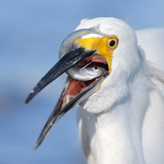 Playing with food! (bmse) Tags: snowyegret fish fishing canon7d2400mmf56l bmse salahbaazizi wingsinmotion