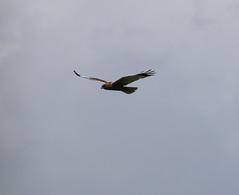 Marsh Harrier (jpotto) Tags: uk lancashire leightonmoss rspb marshharrier harrier birdofpreyraptor bird