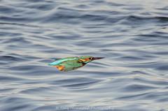 Kingfisher in Flight (alcedo atthis) (phat5toe) Tags: kingfisher alcedoatthis birds avian feathers flight wildlife nature wigan flashes nikon d7000 tamron150600mm