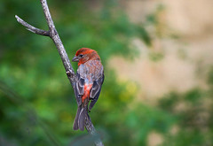 House Finch _ Haemorhous mexicanus (Kremlken) Tags: finches birds birding birdwatching nature outdoorspennsylvania northwestpa nikon500