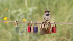 How to peck a lock. (Alex-de-Haas) Tags: oogvoornoordholland bergenaanzee dutch europa europe holland nederland nederlands netherlands noordholland noordzee northsea animal beach bird coast dier hollands kust sea strand summer vogel zee zomer egmondaanzee nl