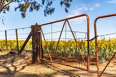 Guarding The Canola (red stilletto) Tags: northeastvictoria dookie spring canola farm rust rusted rusty gate gates barbedwire fence