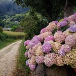 Hydrangeas along the Camino Primitivo thumbnail