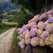 Hydrangeas along the Camino Primitivo