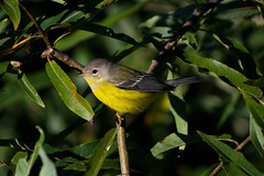 Magnolia Warbler (Female/Immature)_Setophaga magnolia (Kremlken) Tags: warblers fallmigration outdoors birding birdwatching pennsylvania nikon500 birds bird