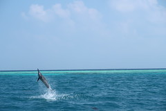 A dolphin leaps out of the water in The Maldives (omnia2070) Tags: the maldives south male atoll dolphin point sea ocean indian leap jump swim