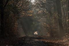 (CarolienCadoni..) Tags: sony sonyilcaa99m2 sal70200g2 70200mmf28gssmii autumn autumncolors autumnlight mountainbike cyclist silhouette raysoflight rays sunrays drenthe nederland netherlands