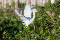 Snowy Egret (Linda Martin Photography) Tags: snowyegret wildlife rookery orangecounty bird breeding egrettathula us gatorland florida animal naturethroughthelens alittlebeauty coth specanimal coth5 ngc