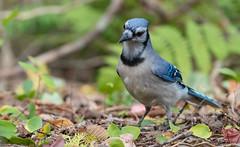 Geai bleu // Blue Jay (Keztik) Tags: geai bleu blue jay cyanocitta cristata oiseau animal wildlife nature bird nikon d7500