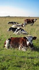 Vachement bien en Pays-de-Caux (Nitro76210) Tags: vaches animaux campagne troupeau herbe