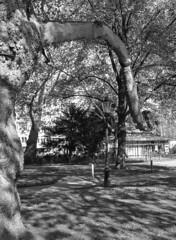 Old and young trees (Arne Kuilman) Tags: planes platanen leidsebosje amsterdam nederland netherlands arsimago320 imago320 iso320 film 645 mediumformat rodinal homedeveloped 8mins19c mamiyasekor55mmf28 trees bomen plane plataan platanushispanica