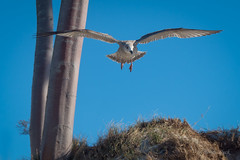 Junge Silbermöwe (Larus argentatus) über den Dünen des Darßer Weststrands (AchimOWL) Tags: möwe tier vogel wildlife ostsee gx8 animal natur nature fauna zingst dars dünen düne wildlive outdoor panasonic bird gull