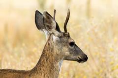 Buck (Brown Acres Mark) Tags: blacktaileddeer odocoileushemionuscolumbianus buck siskiyoumountains jacksoncounty oregon usa markheatherington