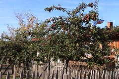 Auf dem Hof ... reich bestückter Apfelbaum (julia_HalleFotoFan) Tags: harz sophienhof harztor