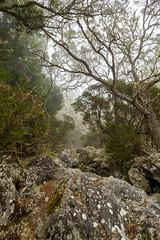 MAÏDO - Forêt tamarins - 07 10 18 (bebopeloula) Tags: photorobertcrosnier 2018 hdr iledelareunion maïdo nikond700 brouillard couleurs extérieur forêt tamarin