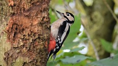 Great Spotted Woodpecker (doranstacey) Tags: nature wildlife birds great spotted woodpecker shillito wood woods woodland forest peak district countryside tamron 150600mm nikon d5300