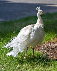 White Peacock_0094 (smack53) Tags: smack53 autumn autumnseason fall fallseason nikon d3100 nikond3100 groundsforsculpture hamilton newjersey bird peacock
