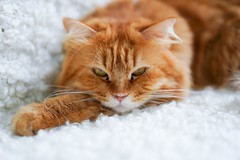『貓貓喵丫』虎虎生威的豆豆 #sel55f18z #sonya7iii #cat #catsofinstagram (Joey0124) Tags: sonya7iii sel55f18z cat catsofinstagram