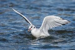 Bonaparte's Gull (Tris Enticknap) Tags: greatbearrainforest gulls britishcolumbia bonapartesgull canada chroicocephalusphiladelphia