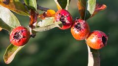 fruitful (Francis Mansell) Tags: fruit berry tree medlar leaf plant hawthorn crataemespilusgrandiflora kew kewgardens royalbotanicgardenskew hybrid macro autumn sepal