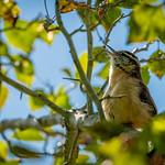 Northern Mockinbird Serenading Us thumbnail