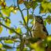 Northern Mockinbird Serenading Us